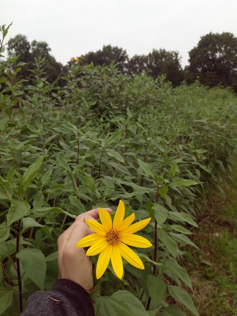 čičoka cvijet