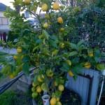Limun-20154615256.jpg