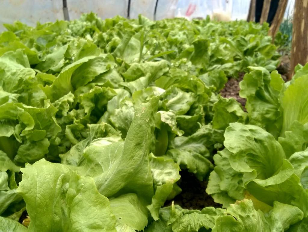 plastenik luk salata