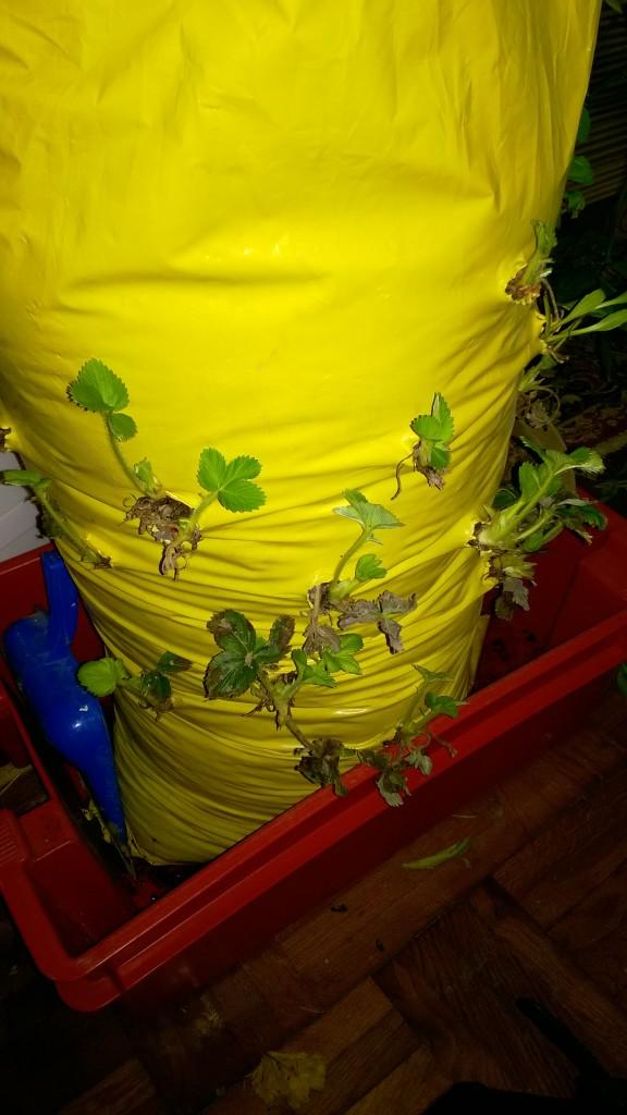 jagode u vertikalnoj vreći