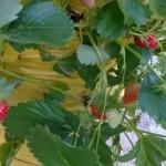 jagode u vreći
